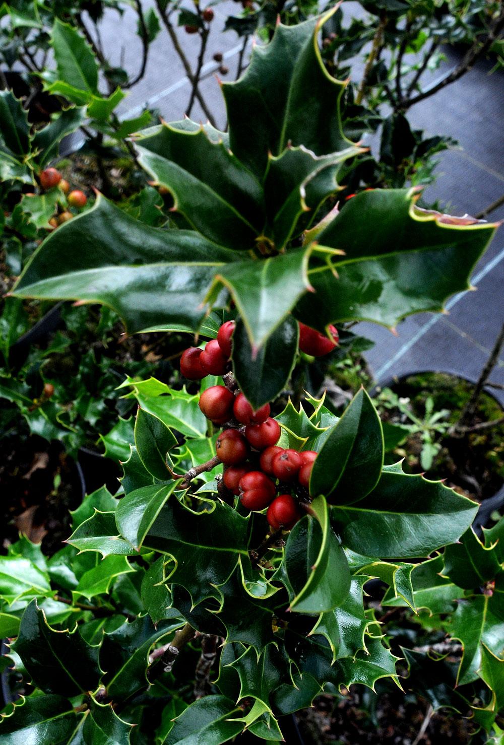 boibel planta ornamental